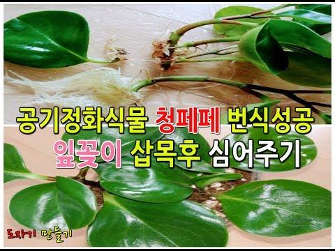 실내공기정화식물 키우기 청페페 번식하기 �