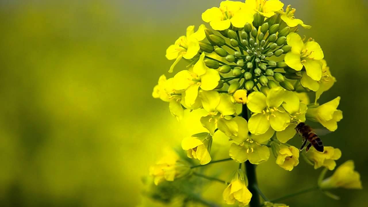 Image Gallery Mustard Flower