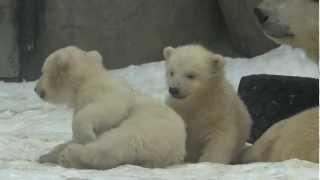 видео: Белые медвежата в Московском зоопарке Polar Bear Cubs in Moscow Zoo