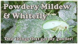 Powdery Mildew & Whitefly Spray