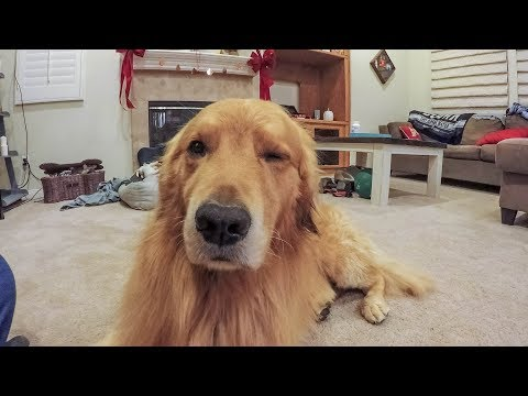 How To Put Your Dog To Sleep | Nap Time | Golden Retriever Vlog