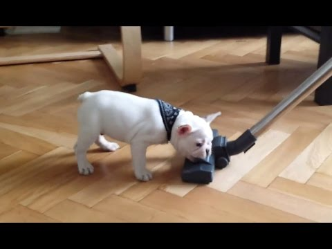 ROCKY the French Bulldog puppy & vacuum cleaner