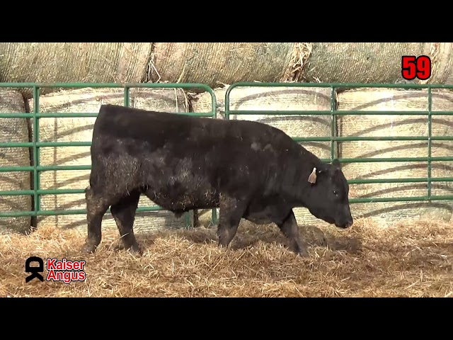 Kaiser Angus Ranch Lot 59