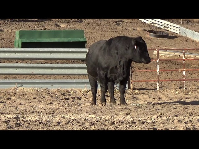 Connealy Angus Lot 226