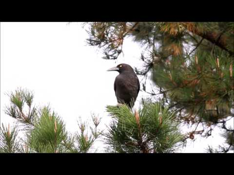Grey Currawong bird call, also catching and eating European Wasps