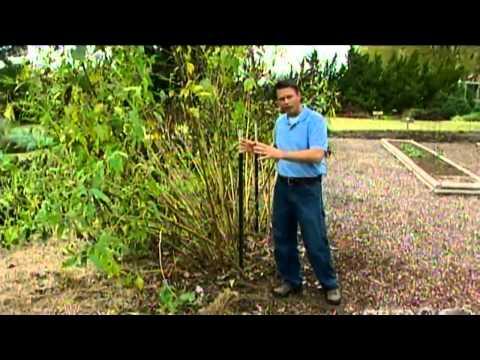 Harvesting Jerusalem Artichoke
