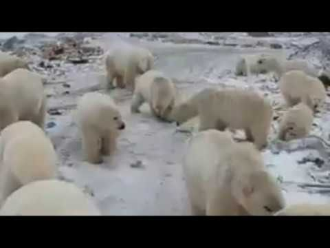 State of Emergency Declared In Russia Due to 'Polar Bear Invasion'
