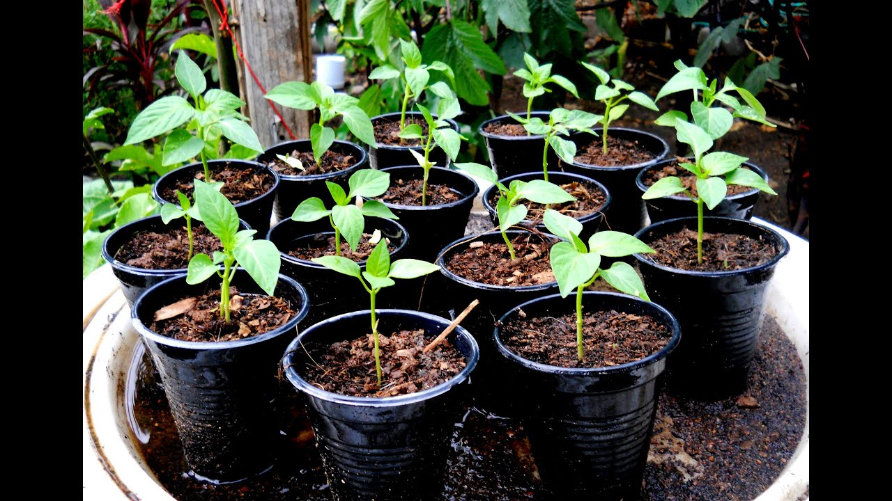 When to plant pepper on seedlings in 2018. Recommendations of the Lunar Calendar for gardeners, gardeners 38