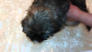 Shih Tzu Swimming Lesson #1 - Moxy 3 Months
