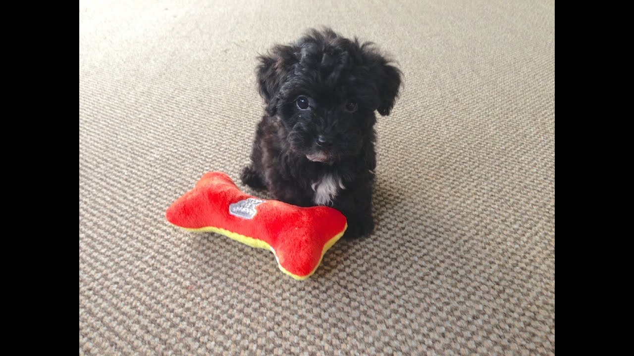 Funny Adorable Non Shedding Yorkie Poo Pups For Sale