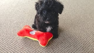 Funny Adorable Non Shedding Yorkie Poo Pups for Sale  - Micheline's Pups