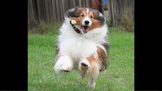 BEST Shetland Sheepdog  Funny Videos (Of All Time)