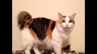 Менкс, или манкс (Manx) породы кошек( Slide show)!