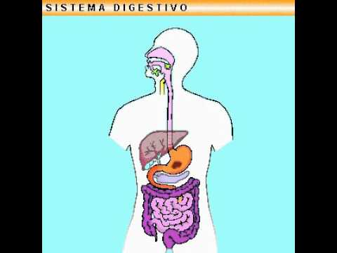 Sistema Digestivo The Digestive System Subtitles In English