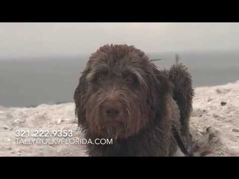"""10 Month Old Labradoodle """"Bear""""   Tallahassee Dog Trainers   Doodle Dog Trainers"""