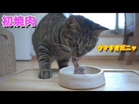 初めての焼肉を爆速で食べる猫!美味しすぎて野生化!笑【すず/コテツ】