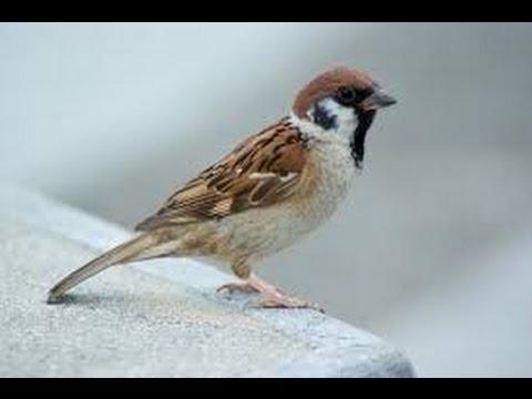 تفسير حلم رؤية العصافير في المنام ، رؤيا العصفور