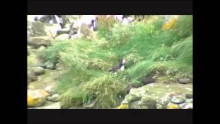 Handa Island Scotland Puffins