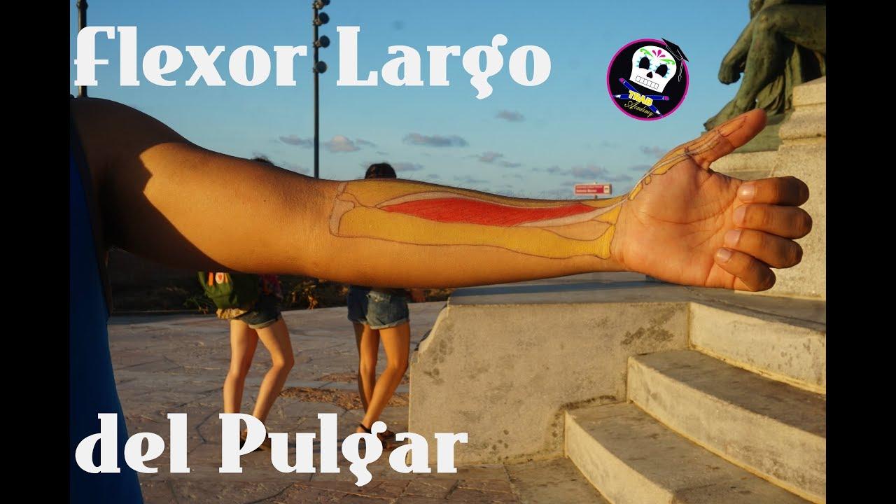 Flexor Largo del Pulgar /Anatomía - YouTube
