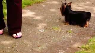 Shakespeare's Sir Romeo  Akc Yorkie Yorkshire Terrier Stud