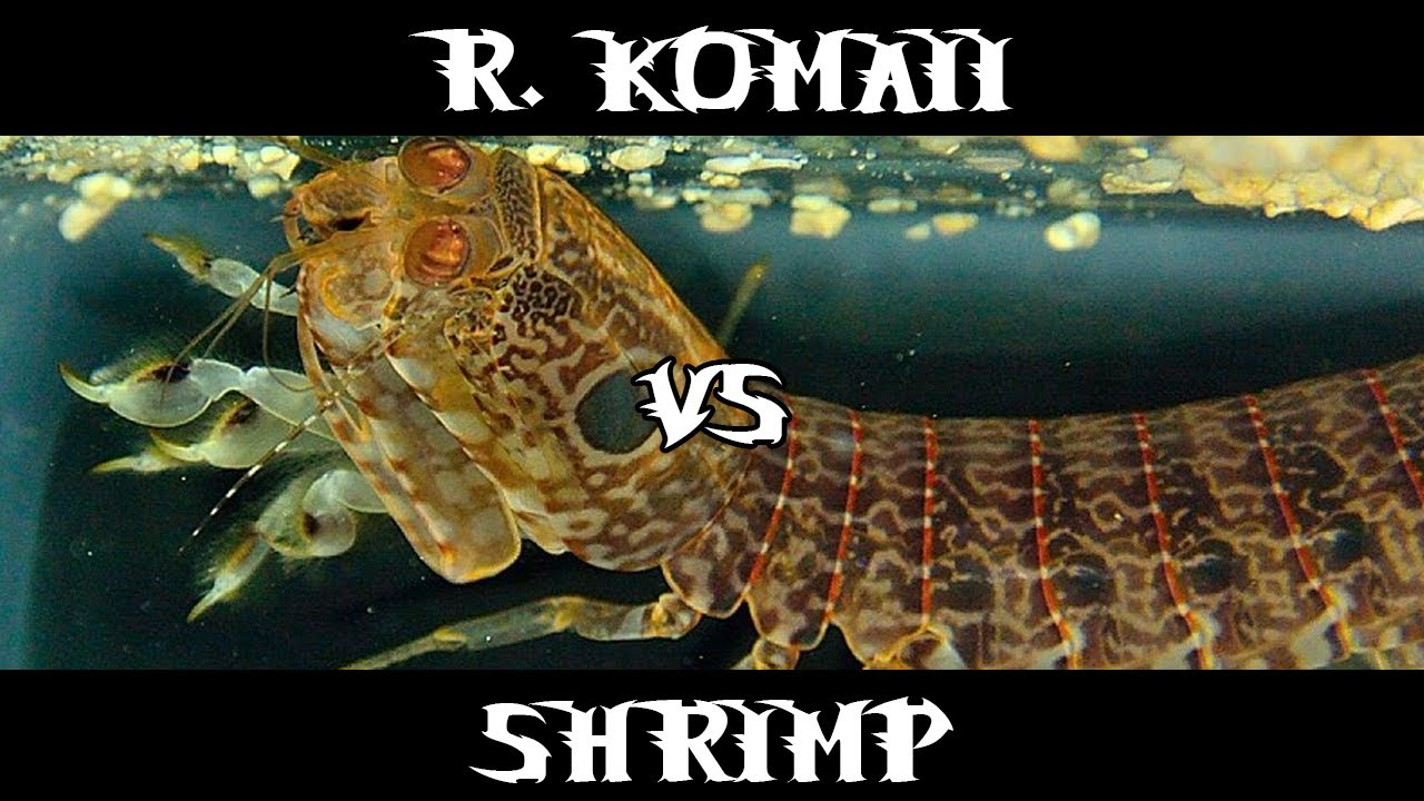 very rare small spearer raoulserenea komaii vs shrimp youtube