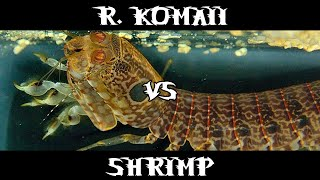 Rare Spearing Mantis Vs Shrimp