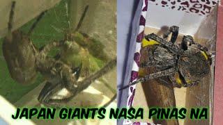"Japan Giant Feeding on Philippine Spiders "" lamon"""