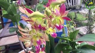 Vườn lan sưu tầm hàng chớp [Duy Phong Orchid]