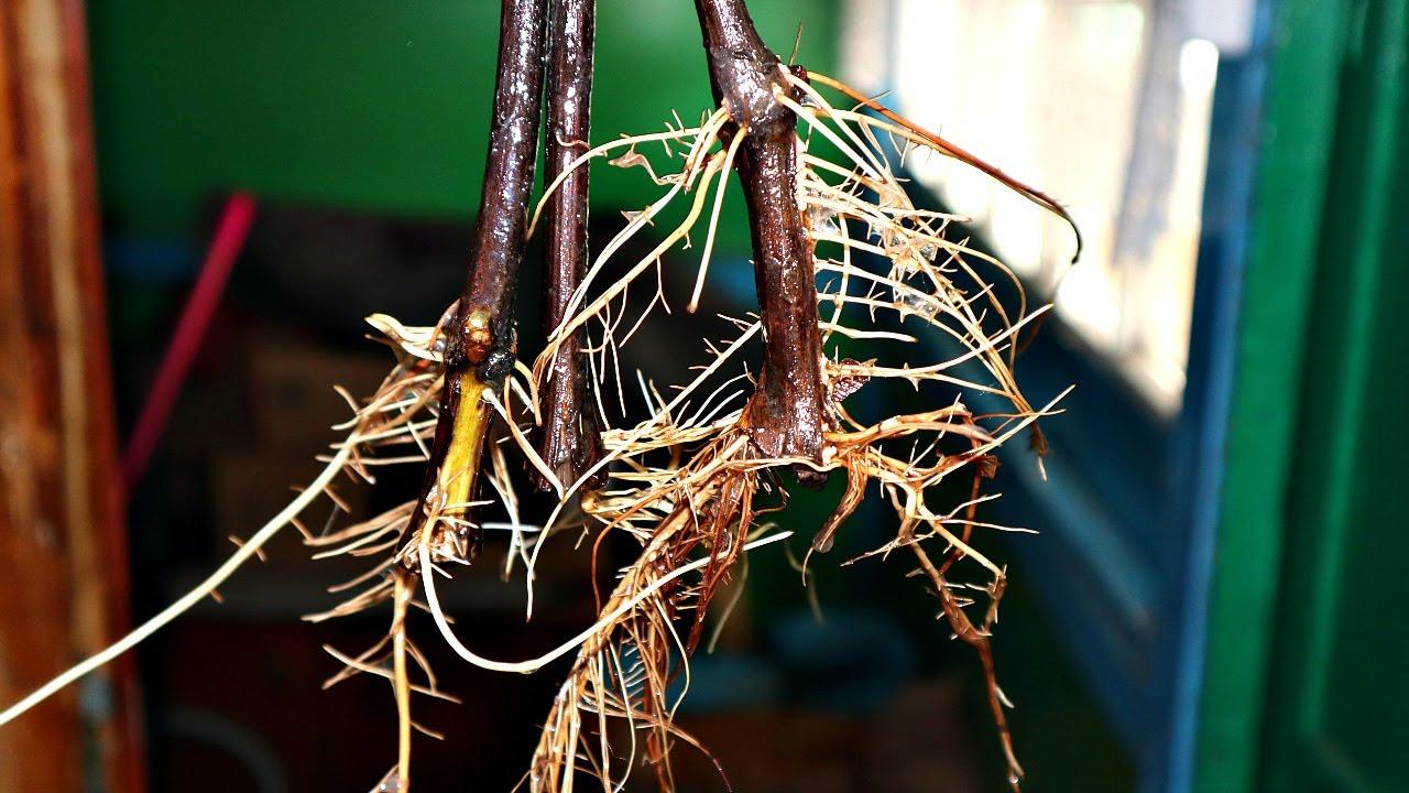 В этом растворе любой черенок даже роза пустит корни за 2 дня! Лучший стимулятор роста корней мёд!