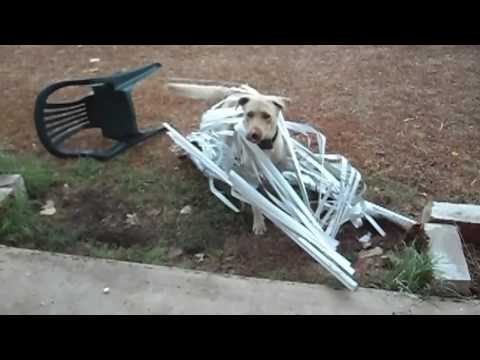 Dog Is Caught In Window Blinds