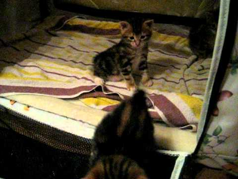 Секреты профессиональных заводчиков как определить какой породы котенок на сайте petstory. Ru.