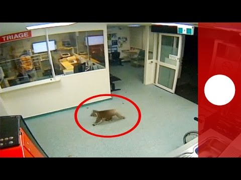 CCTV footage: Koala strolls into hospital's emergency department, Australia