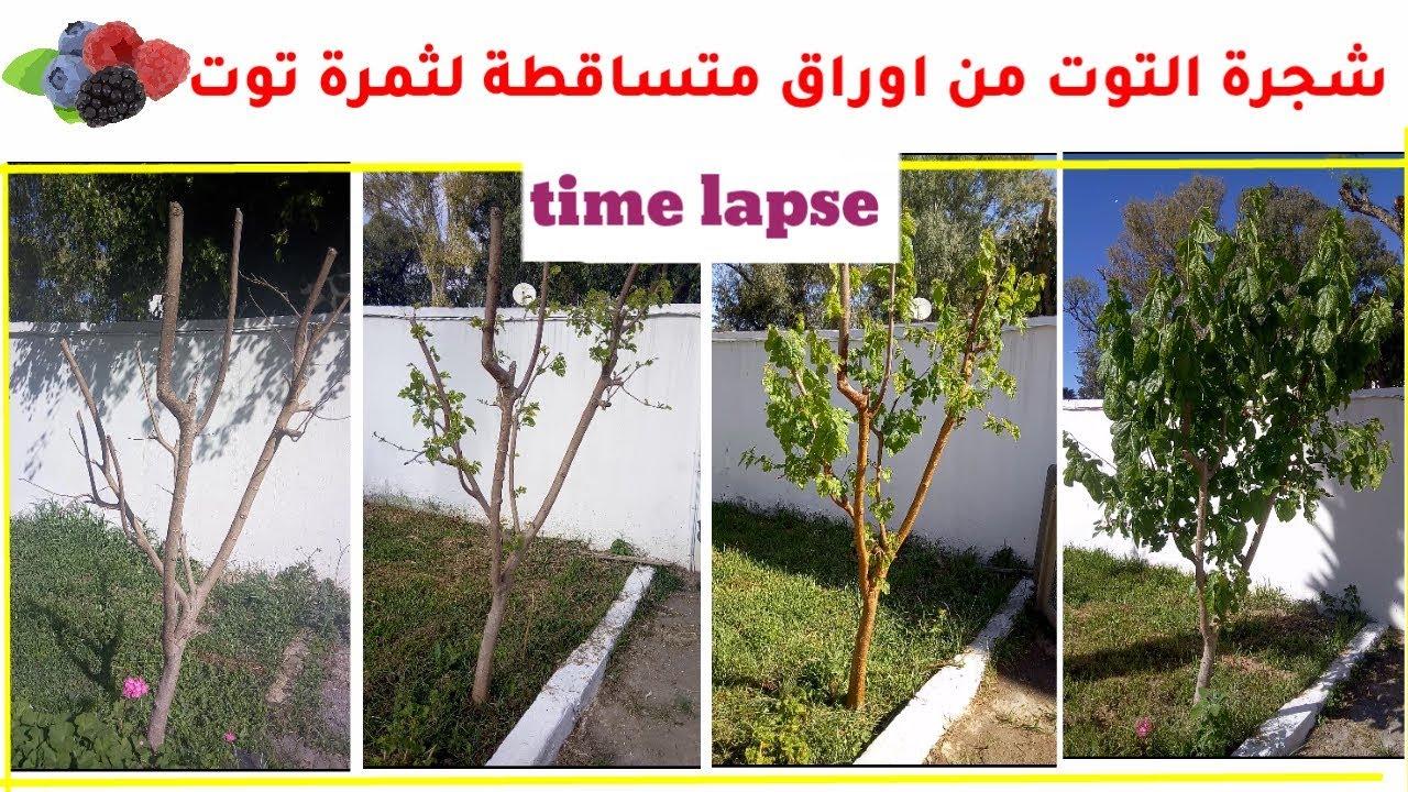 زراعة شجرة التوت مراحل نمو شجره توت حتى الاثمار فيديو مسرع Time Laps Youtube
