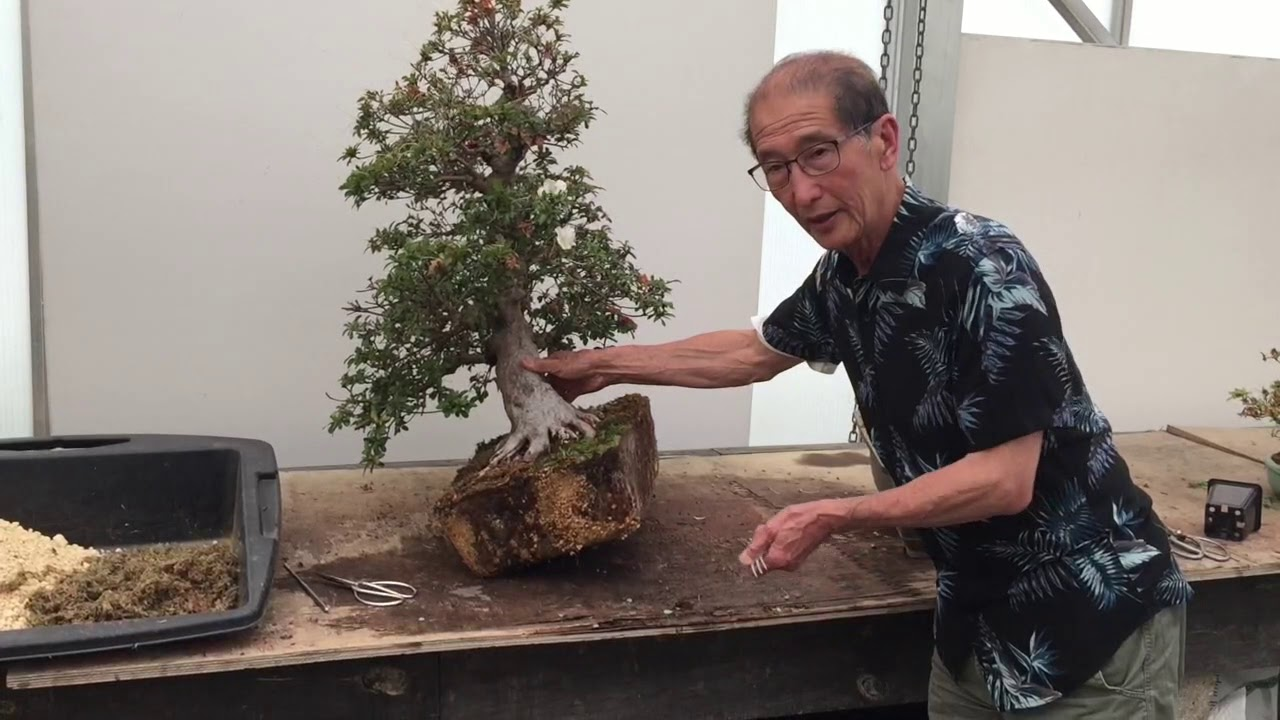 Deadheading And Repotting Azalea Bonsai Youtube