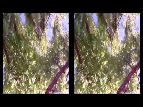 akasya ağacı ve akasya faydaları