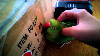 Indian ringneck making noises