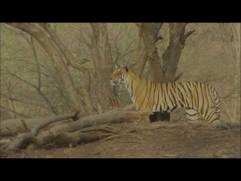 Help Us Save Wild Tigers