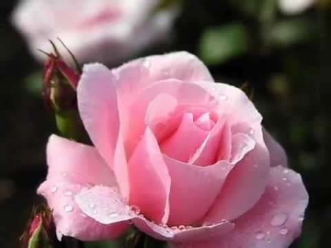 LA DANZA DELLE ROSE - di Anna Maria Cherchi  Nini Rosso Valzer delle candelle