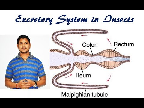 Lecture 11: Excretory  system in insects.