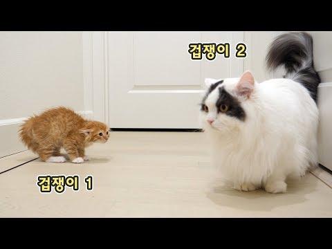 겁쟁이 아기 고양이와 겁쟁이 거대 고양이의 합사! 싸우지 않고 합사하는 법