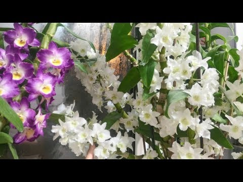 Мой уход за орхидей дендробиум Нобиле!!!