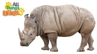 * Rhinoceros * | Animals For Kids | All Things Animal Tv