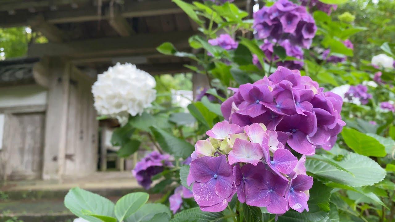 2021/06/16 如法寺仏殿の紫陽花 その4 〜愛媛県大洲市〜