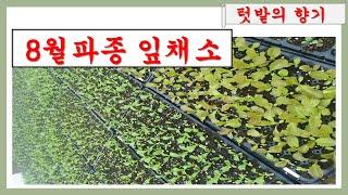 8월에 파종할 잎채소( 가을파종, 쌈채소,상추, 청경채…