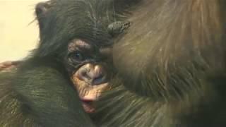Download Video 東山チンパンジー 双子の赤ちゃん⑥ Chimpanzee twin baby MP3 3GP MP4