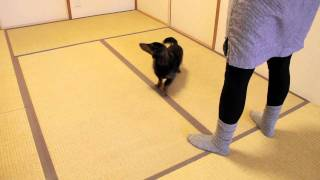Half-turn And Back Up Between My Legs (Freestyle Move) - Blind Doxie Nono