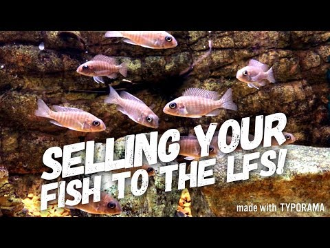BREEDING AFRICAN CICHLIDS & SELLING THEM TO LOCAL FISH STORES! | A COMPLETE GUIDE