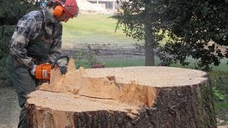 Abbattimento grosso albero. Cut down big tree with tirfort and dynamometer.