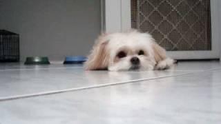 My Maltese/long Hair Chihuahua Puppy
