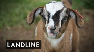 Miniature goats are the new cute kids on the block | Landline